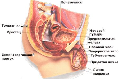 схема репродуктивной системы мужчины